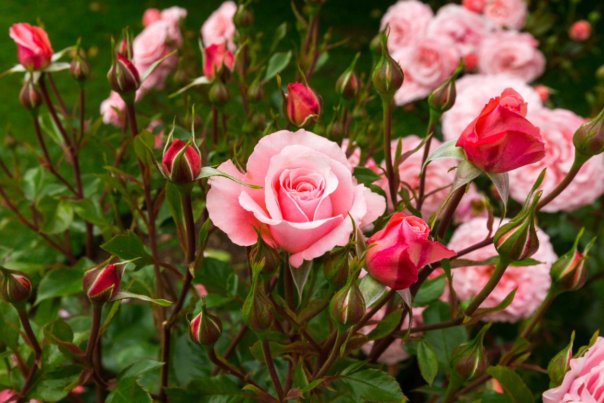 How to Create a Rose Flower Garden